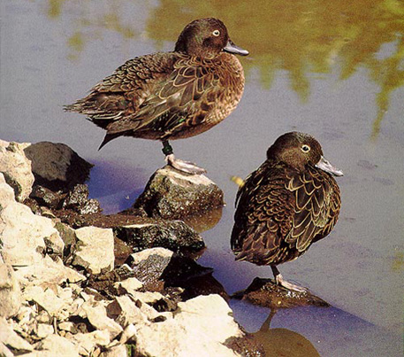 Brown Teal Duck