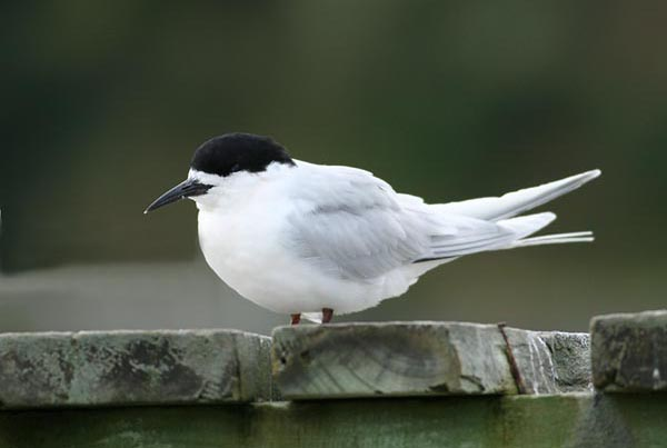 White Fronted Turn